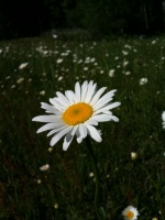 06/07/10 - One in a field of Daisies
