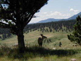 A closer picture of another deer near NCAR.