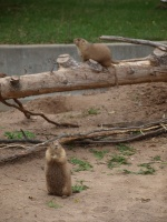 Prairie Dogs at the New Zoo