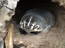 Wisconsin Badger at New Zoo
