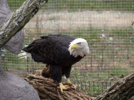 Bald Eagle at the New Zoo